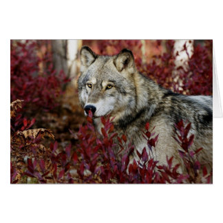 Wolf in red foliage card