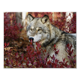 Wolf in red foliage photo print