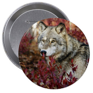 Wolf in red foliage pinback button