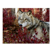 Wolf in red foliage postcard