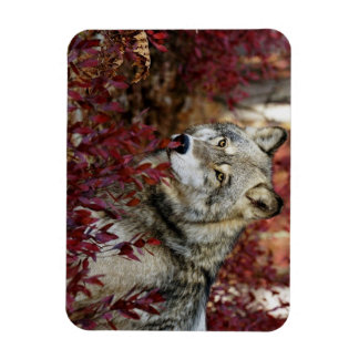 Wolf in red foliage rectangular photo magnet