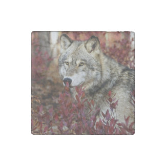 Wolf in red foliage stone magnet