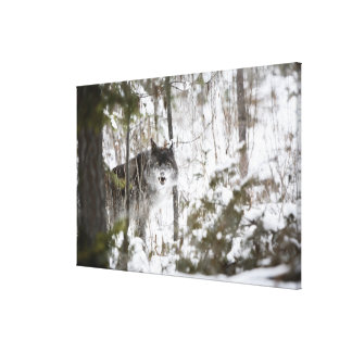 Wolf In The Forest In Winter Canvas Print