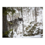 Wolf In The Forest In Winter Postcard