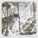 Wolf In The Forest In Winter Square Sticker