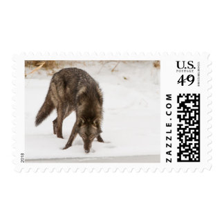 Wolf in the snow postage