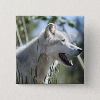 Wolf in Yellowstone. Button