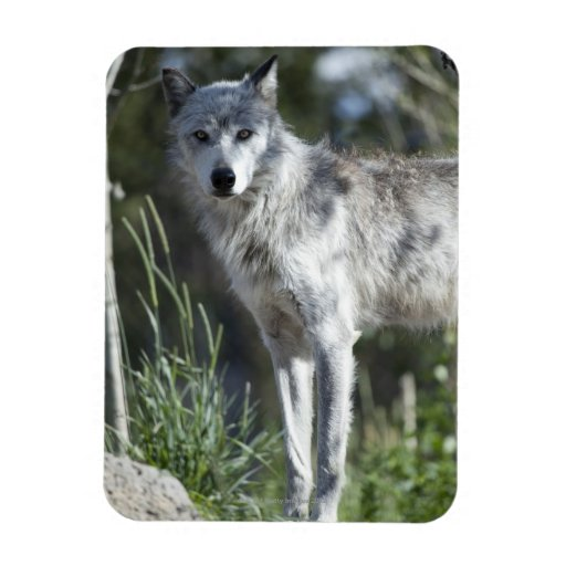 Wolf In Yellowstone Magnet Zazzle