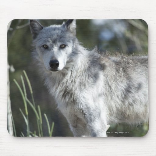 Wolf in Yellowstone Mouse Pads