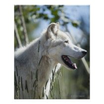 Wolf in Yellowstone. Poster