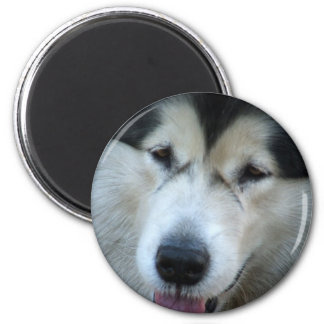 Wolf Malamute Picture Round Magnet Magnets