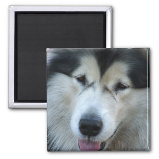 Wolf Malamute Picture Square Magnet Magnets