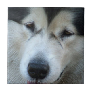 Wolf Malamute Picture Tile