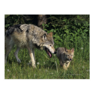 Wolf mother with young pup postcard