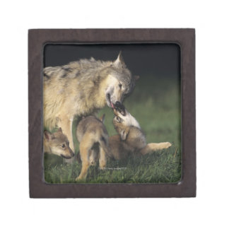 Wolf mother with young pups keepsake box