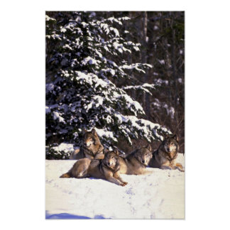 Wolf pack at edge of snowy woods poster