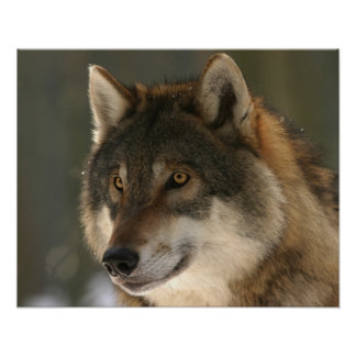 Wolf Photo Poster Close Up Face