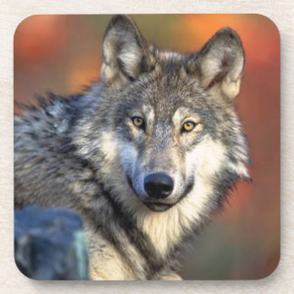 Wolf Photograph Drink Coaster