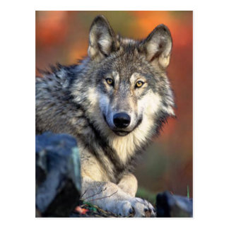 Wolf Photograph Postcard