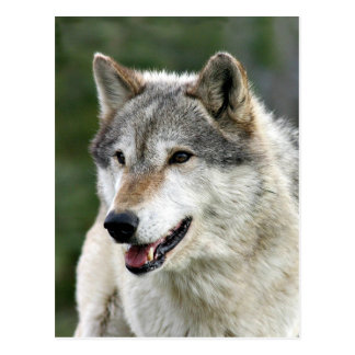 Wolf Post Cards
