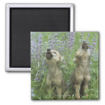 Wolf Puppies Howling In Meadow 2 Inch Square Magnet