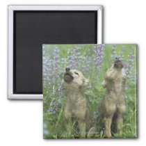 Wolf Puppies Howling In Meadow Magnet