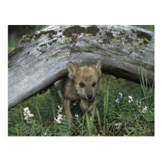 Wolf Puppy Going Under Log Postcard
