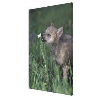 Wolf Puppy Sniffing Mountain Wildflower Gallery Wrapped Canvas
