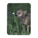 Wolf Puppy Sniffing Mountain Wildflower Magnet