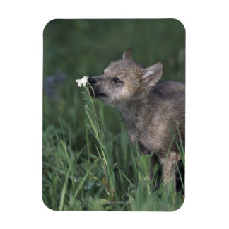 Wolf Puppy Sniffing Mountain Wildflower Magnet