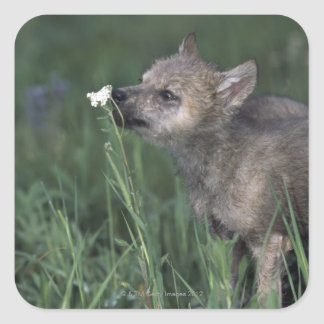 Wolf Puppy Sniffing Mountain Wildflower Square Sticker