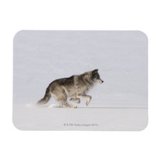 Wolf running in the snow 2 magnets