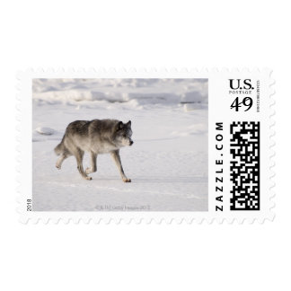Wolf running in the snow postage