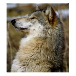 Wolf Sitting Up Poster