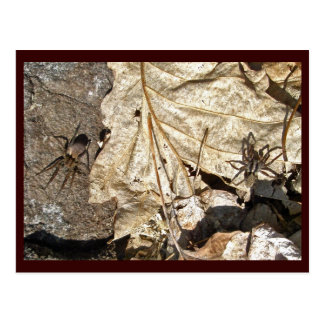 Wolf Spider Courting Pair Postcard