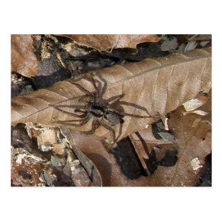 Wolf Spider (Gladicosa gulosa) Postcard