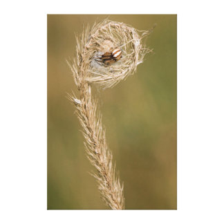 Wolf Spider Making A Web On The Grass Stalk Canvas Print