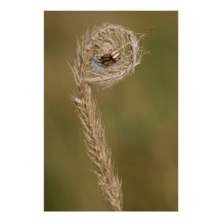 Wolf Spider Making A Web On The Grass Stalk Poster