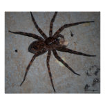 Wolf Spider poster Poster