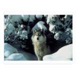 Wolf Standing in Snow Post Card