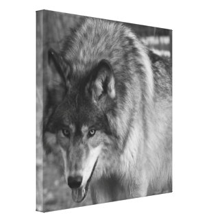 Wolf Stare Gallery Wrapped Canvas