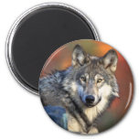 Wolf Staring Magnet