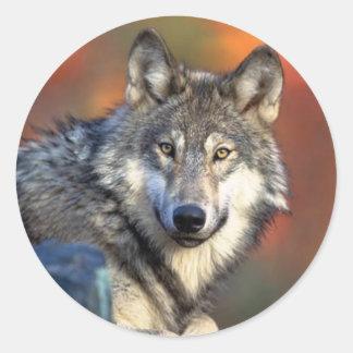 Wolf Staring Sticker