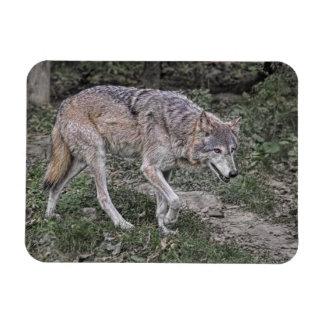 Wolf Tracking Rectangular Photo Magnet