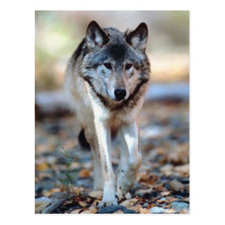 WOLF WALKING POSTCARD