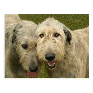 Wolfhounds irlandeses postal