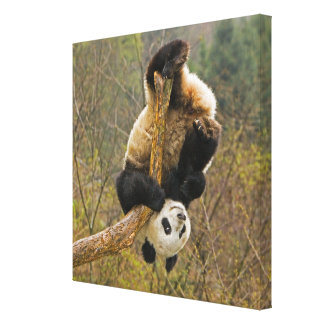 Wolong Panda Reserve, China, 2 1/2 yr old Stretched Canvas Prints