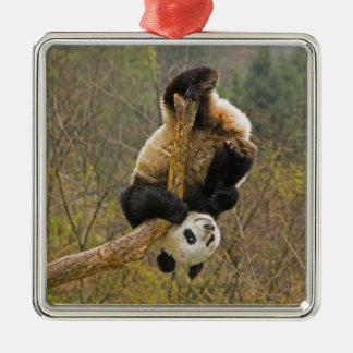 Wolong Panda Reserve, China, 2 1/2 yr old Christmas Ornaments