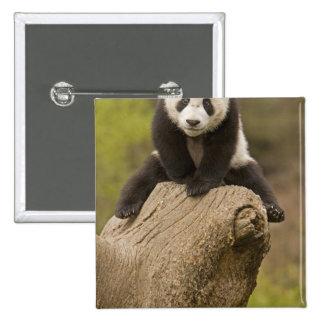 Wolong Panda Reserve, China, Baby Panda on top Button