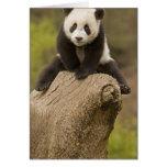 Wolong Panda Reserve, China, Baby Panda on top Card